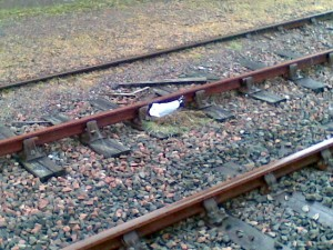 Seagull on the line at Mallaig station